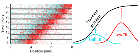 Figure 3. Spontaneous spatial organization of phenotypes during collective migration resolves the conflict between individuality and collective migration. A one-to-one mixture of E. coli cells with high (cyan) and low (red) tumble bias (TB) spontaneously sort themselves during travel so that the lower tumble bias cells, which climb gradient faster are in the front where the gradient is shallower and the high TB cells, which are slower, are in the back where the gradient is steeper17.