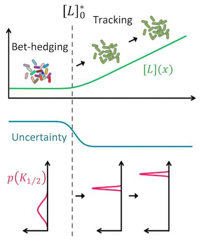 When there is no signal, uncertainty about what signal may come next is high and the population edges its bets by exhibiting strong diversity in the sensitivity of the individual cells (broad distribution in K1/2) to many different signals. But once a given signal L exceeded a threshold (L0 predicted by the mathematical model), the sensory diversity collapsed, enabling the entire population to 'focus' on that particular signal.